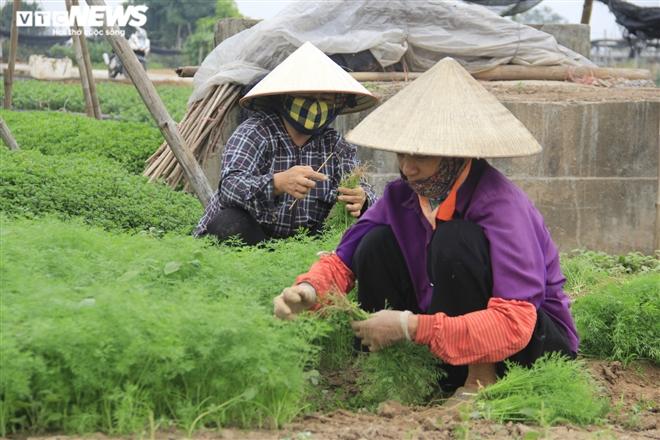 Hà Nội: Rau xanh rẻ như bèo, nông dân bỏ đầy đồng làm phân bón - 6
