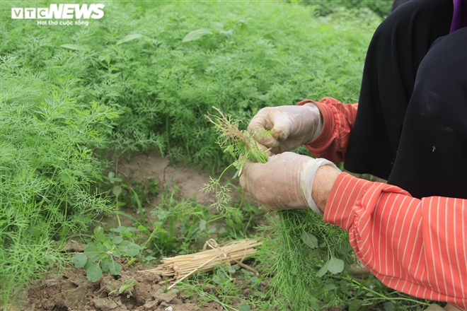 Hà Nội: Rau xanh rẻ như bèo, nông dân bỏ đầy đồng làm phân bón - 7