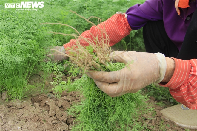 Hà Nội: Rau xanh rẻ như bèo, nông dân bỏ đầy đồng làm phân bón - 9
