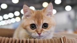 Mèo bị lây COVID-19 từ chủ - ca lây nhiễm mới nhất từ người sang thú cưng