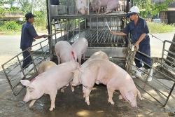 Thái Lan sẽ hạn chế xuất khẩu lợn?