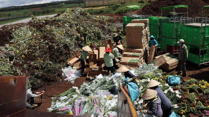 Lâm Đồng: Hàng triệu cành hoa xuất khẩu sang Australia nguy cơ thành phân bón - 1