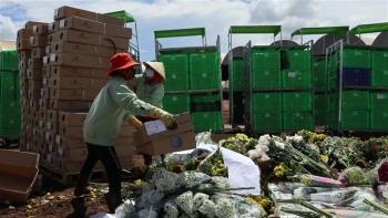 Lâm Đồng: Hàng triệu cành hoa xuất khẩu sang Australia nguy cơ thành phân bón