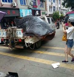 Chở xác cá voi trên phố để xẻ thịt gây phẫn nộ