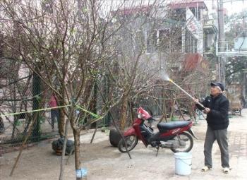 Cấm chặt đào rừng chơi Tết: Căn cứ pháp lý đã có từ lâu