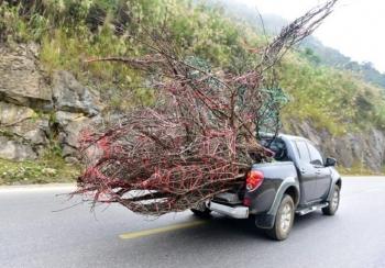 Độc giả đề nghị phạt hành vi chặt, buôn bán đào rừng như tội phá rừng