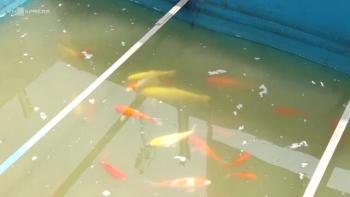 Thả cá ở bể thí điểm làm sạch sông Tô Lịch